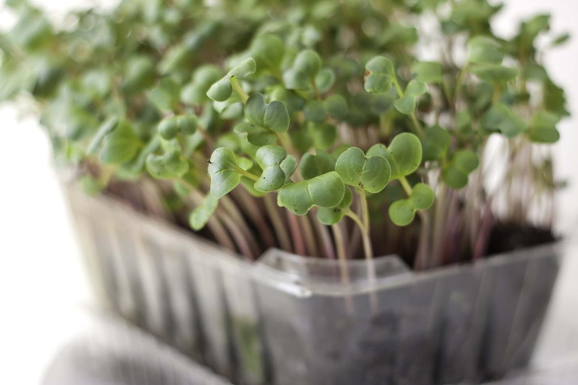 Makar Radish Sprouts | Gourmet Egypt