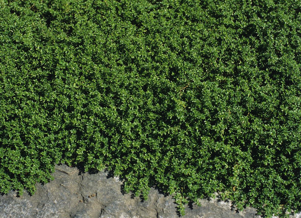 creeping thyme plant